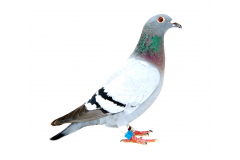 ALTMIKS-SOUDY PIGEONS - RO 552981/20