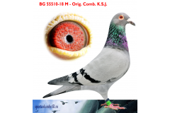 BG 18 55510 M - 1 Final + 1 Ace pigeon Superstar Race x 1 Final + 1 Ace pigeon Honest Race