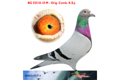 BG 18 55518 M - 1 Ace pigeon As Golden Race x 2 Final As Golden Race