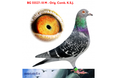 BG 18 55527 M - 1 Ace pigeon AS Golden Race x niece Harry / Jan Hooymans