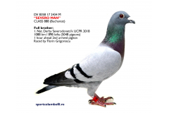 "DV 8358 17 2434 M ""SEVERO MAN"" - Brother 1 Nat Derby Severodonetsk (1088km) 5064 pigeons"