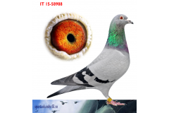 IT 15 58988 F - Full sister to mother 1 Semifinal Huixiang China against 7400 pigeons