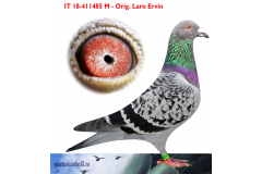 IT 18 411485 M - Half brother 1 Ace pigeon As Golden Race (Greece)
