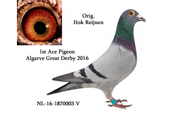 NL 16 1870003 M - HOK REIJNEN - 1 Ace pigeon Overall Algarve Great Derby 2016