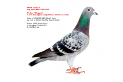 RO 14 768453 F - Mother 1. prov Ace-pigeon FNCPR Arges Long Distance