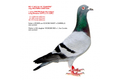 RO 17 6021361 CHAPPIE - 1. prov Ace-pigeon FNCPR Arges Long Distance