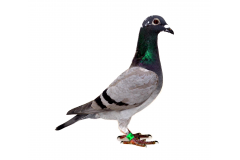 RO 18-552200 F - Gillette 3 Nat UCPR Fond x Victoria 1 Ace pigeon Balkanic Fair-Play