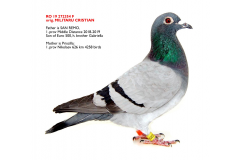 RO 19 272354 F - Daughter 1 prov Ace pigeon Middle Distance