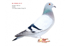 RO 20 553921 F - Sister 13 place Nikolaev Golden Ring (1325 pigeons)