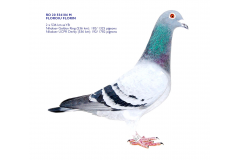 RO 20 554104 M - FLOROIU FLORIN - 2 top prizes x 536 km as young bird