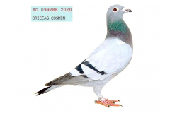 RO 20 99288 F - HSister 1 Nat UCPR Short Dist 2 years; 1/ 30713 pigeons