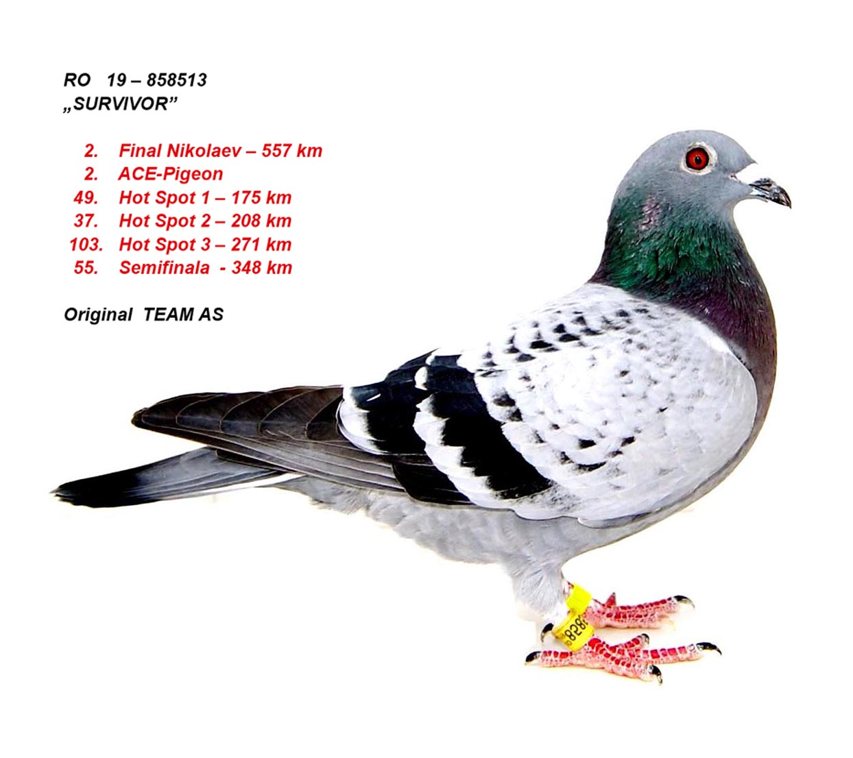 2. FINAL 557km + 2. ACE-PIGEON TEAM AS 19-FCPR-858513