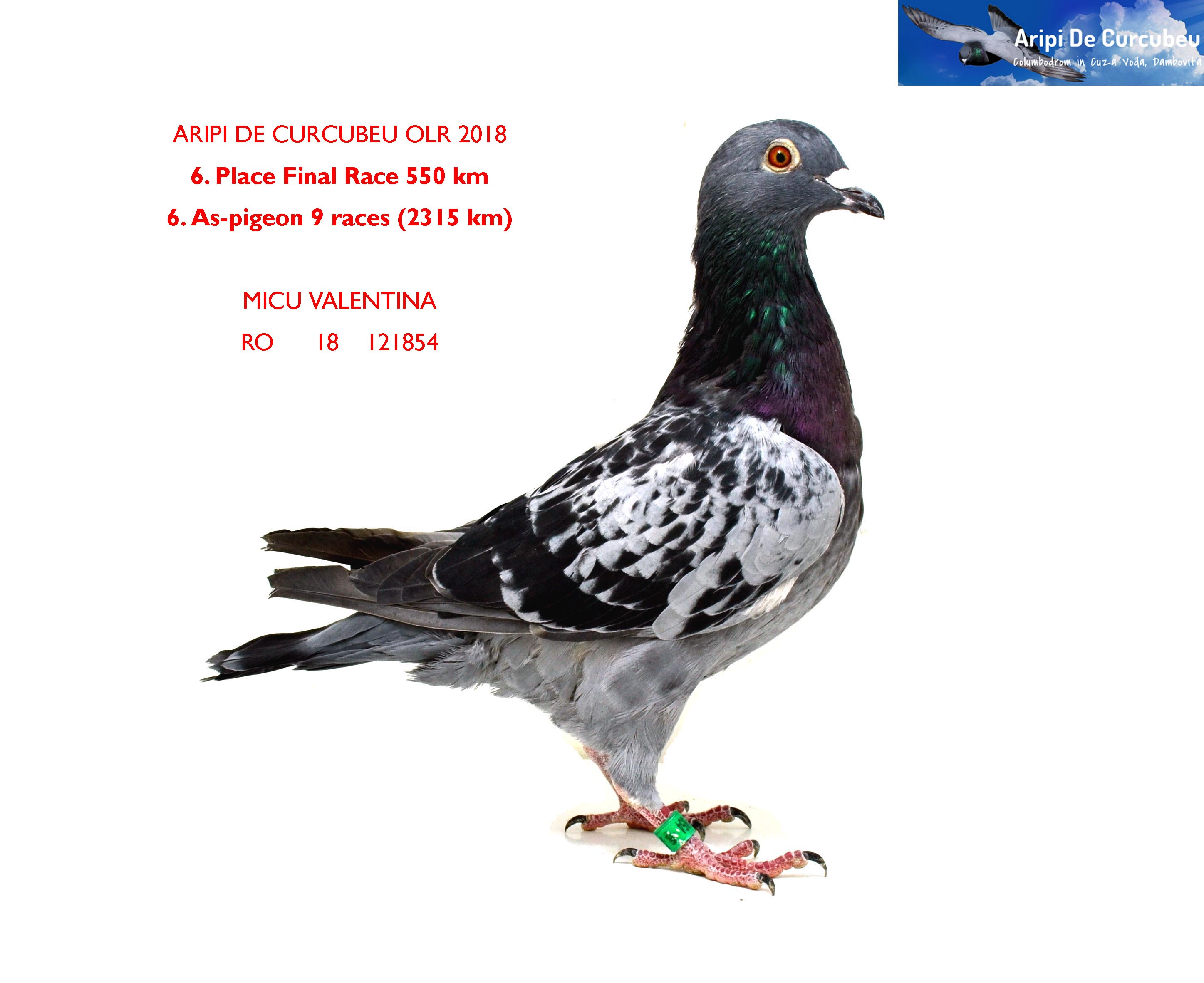 6 FINAL RACE + 6 AS-PIGEON MICU VALENTINA      	RO      18    121854