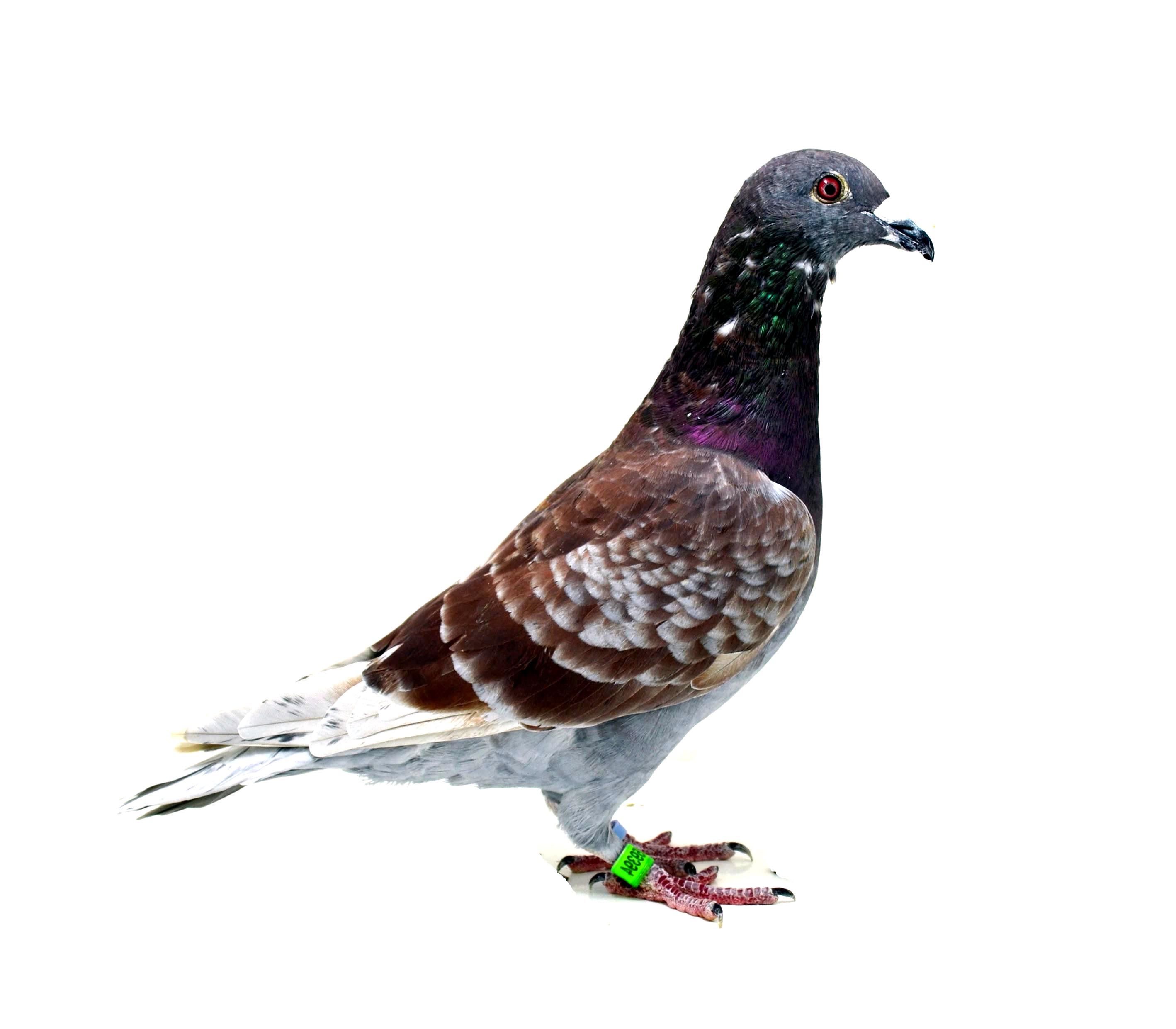 84 FINAL RACE SPORTING PIGEONS TEAM	Team A	Portugal	PT-8459394-2018