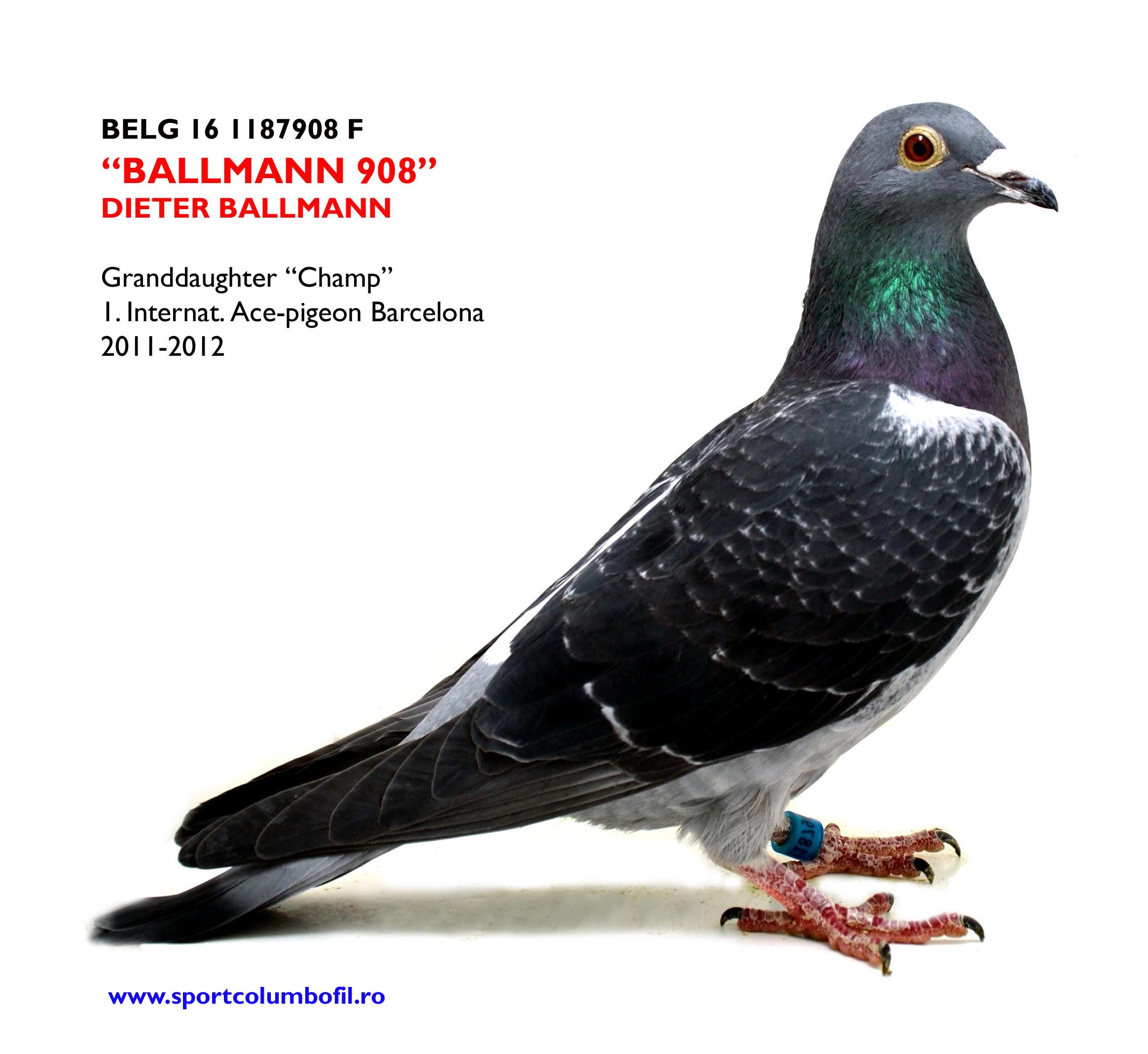 BELG 16 1187908 F - Dieter Ballmann - Granddaughter CHAMP 1 Ace Europa Barcelona 2 years
