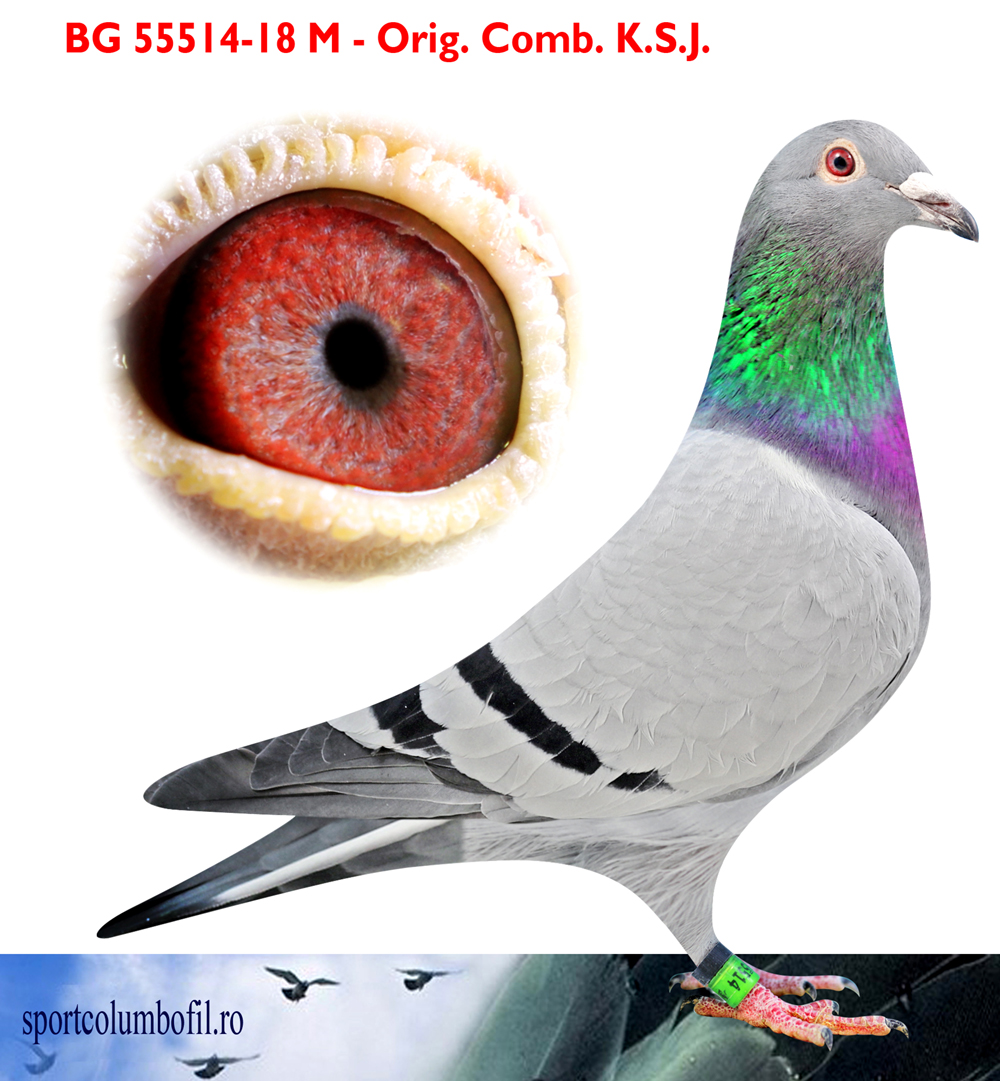 BG 18 55514 M - 1 Final + 1 Ace pigeon Superstar Race x 1 Final + 1 Ace pigeon Honest Race