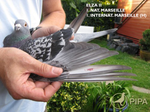 DV 401 09 742 M - basic breeder; full brother Elza II 1 Internat Marseille (h)