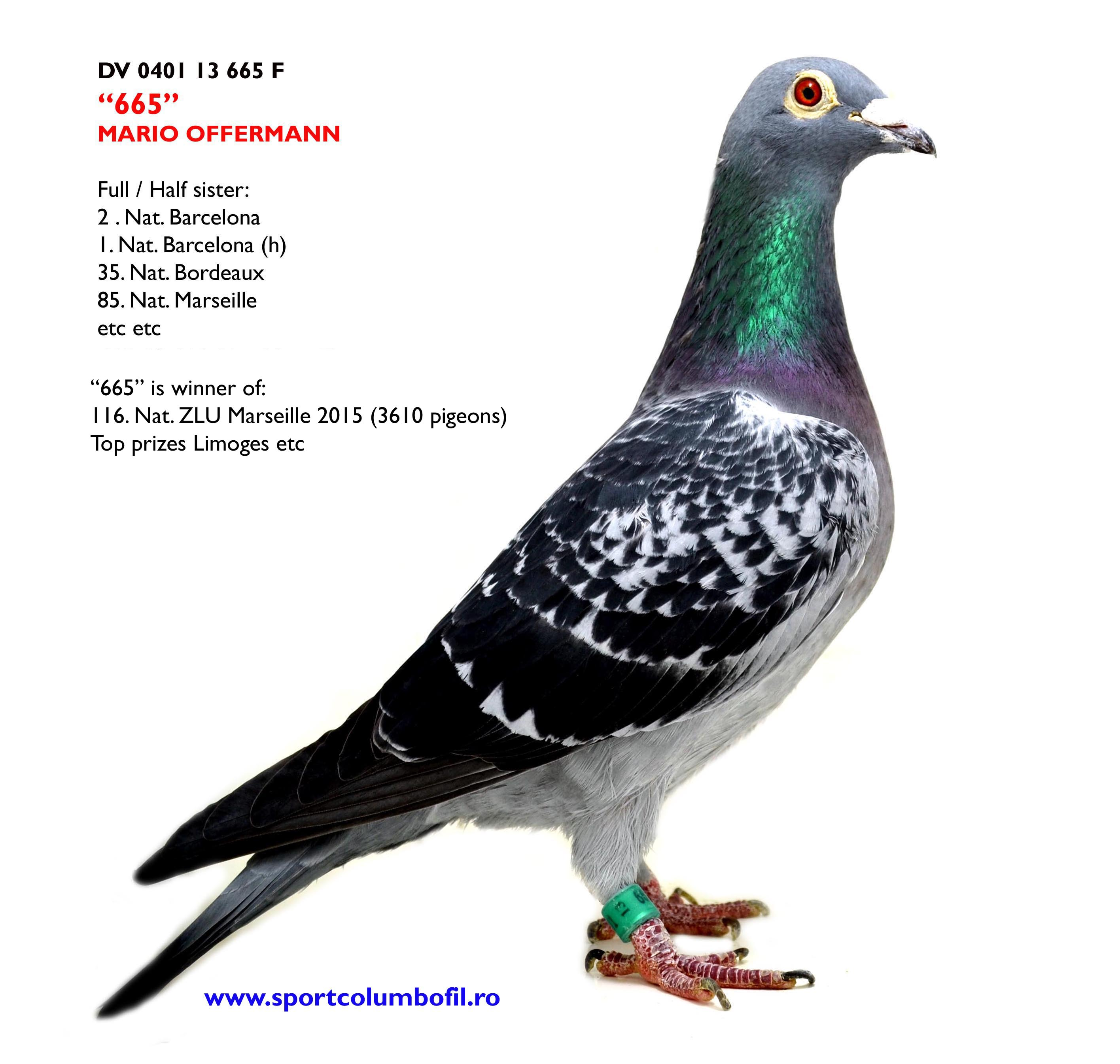 DV 401 665 F - top racing hen; 116 Nat Marseille etc; full sister 1 Nat Barcelona (h)