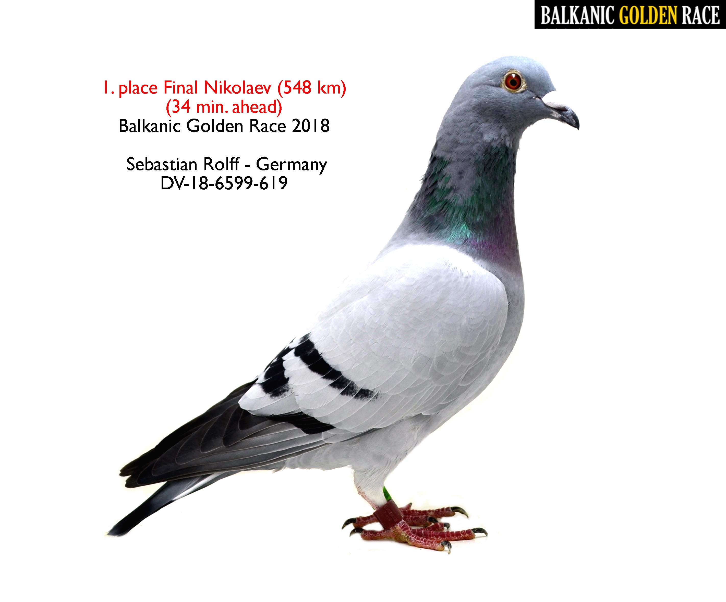 DV 4858 16 1886 M - Full sister 2 Ace pigeon Million Dollar Race; sister mother 1 final BGR