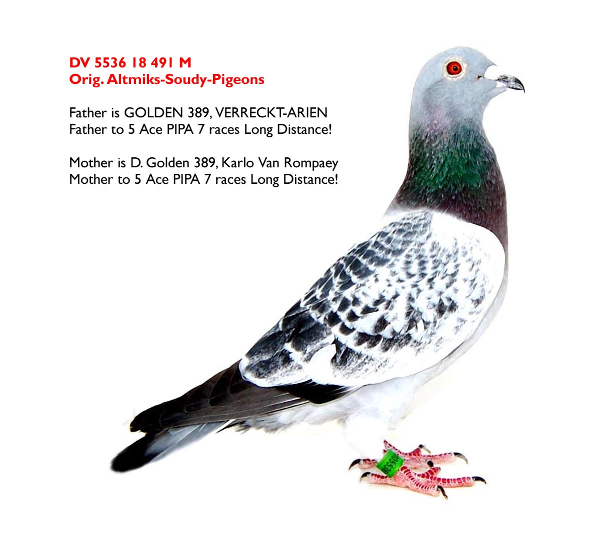 DV 5536 18 491 M - full brother 5 ace pigeon PIPA 7 races long distance
