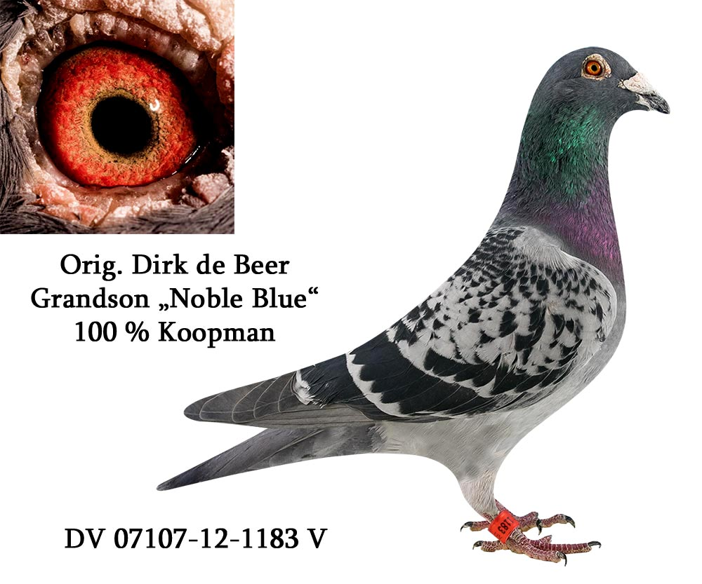 DV 7107 12 1183 M - DIRK DE BEER - Grandson Noble Blue, Magic Man
