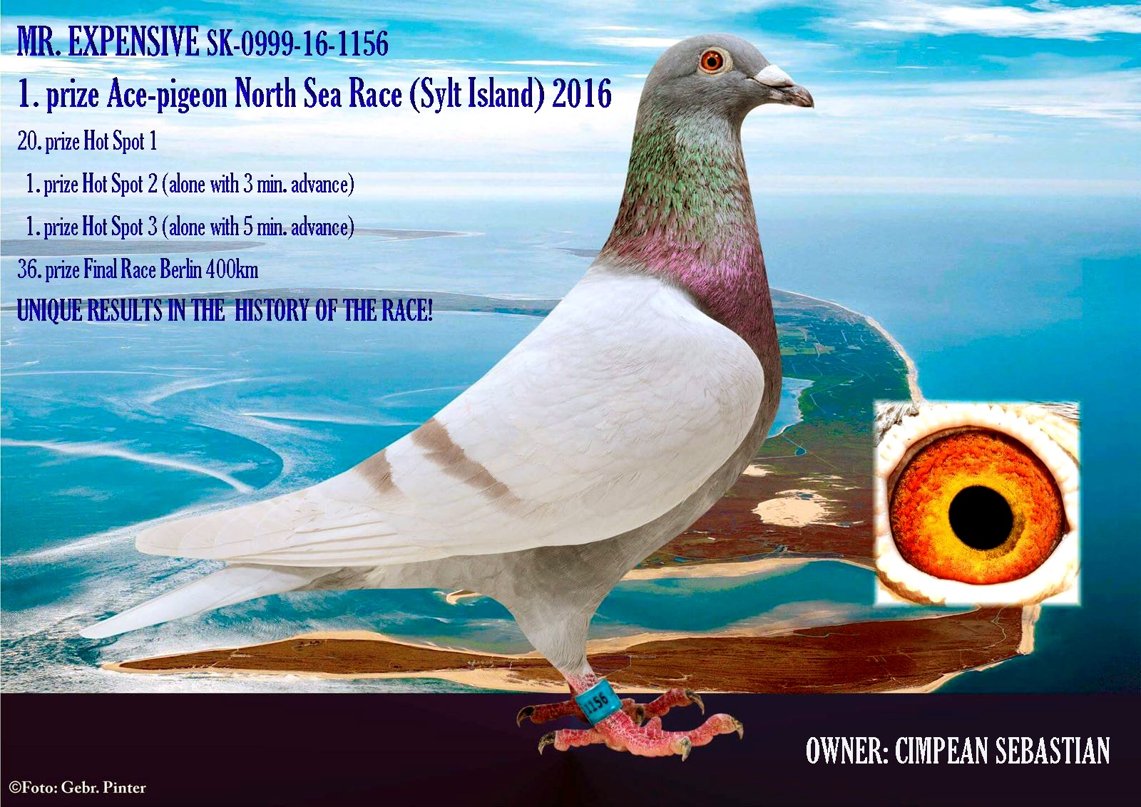 IT 18 408094 F - 1 Ace pigeon North Sea Race x sister 1 Ace pigeon As Golden