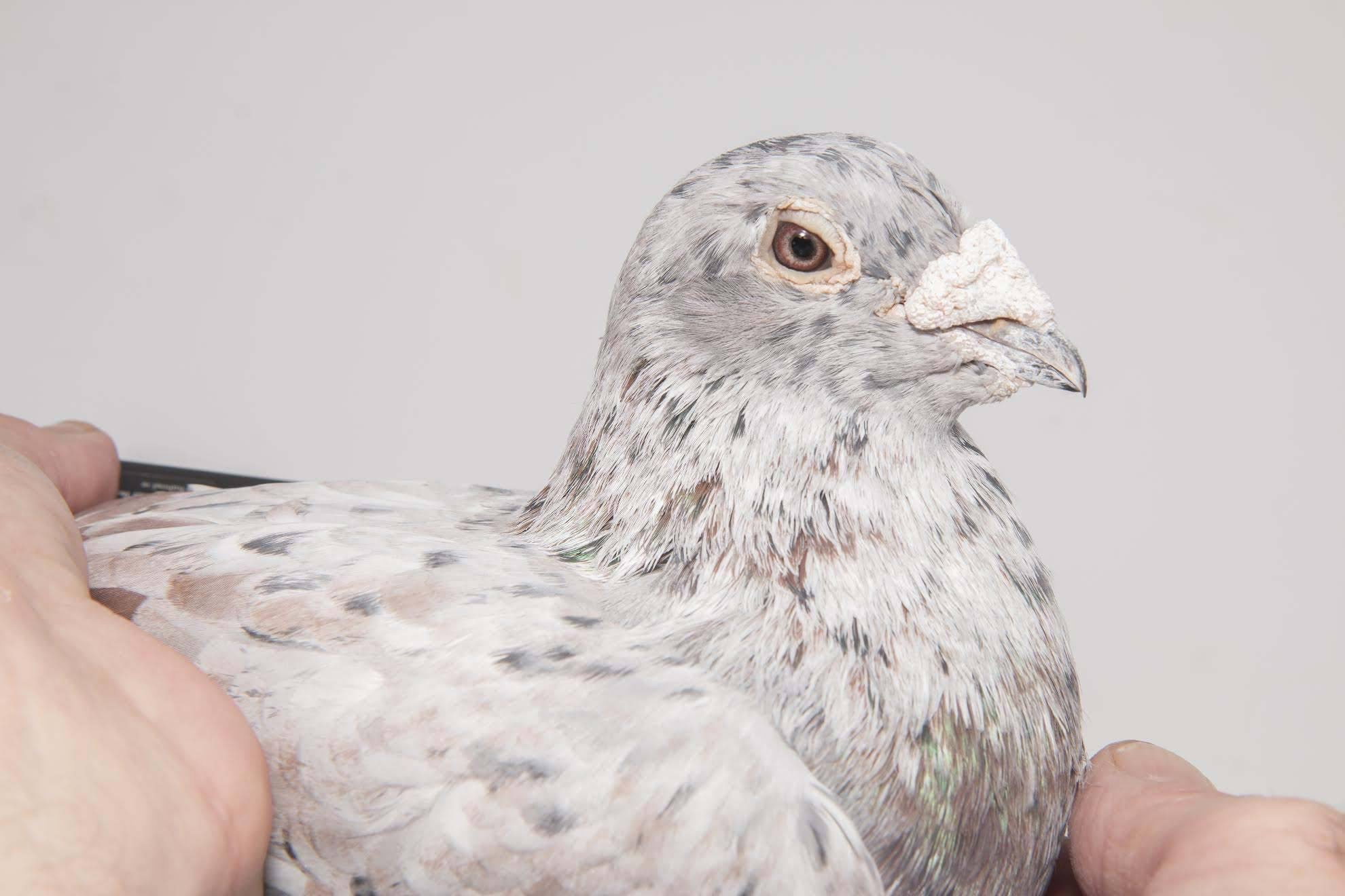 IT 18 408100 F - Mr Expensive 1 Ace pigeon North Sea OLR x daughter Bear David Clausing