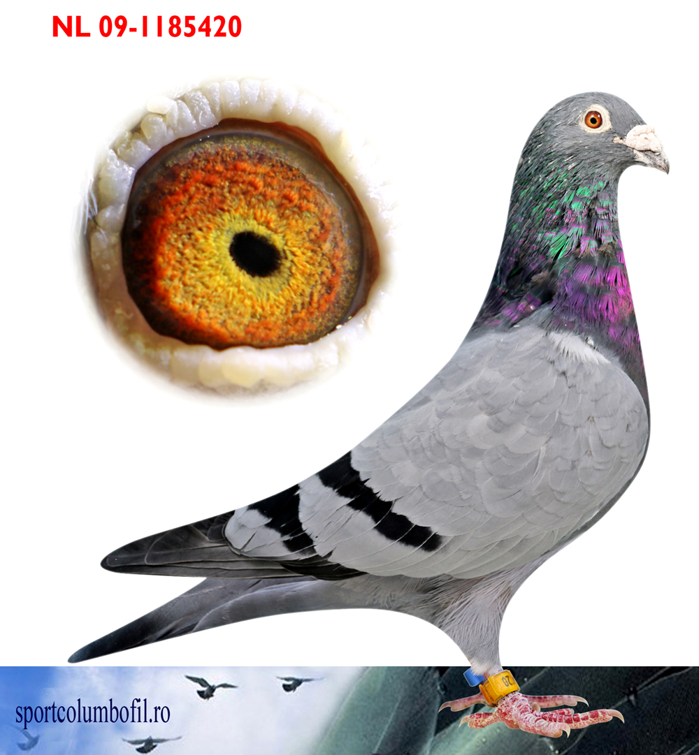 NL 09 1185420 M - J. Rimmelzwaan - Father 1 Ace pigeon As Racing OLR (12 races)