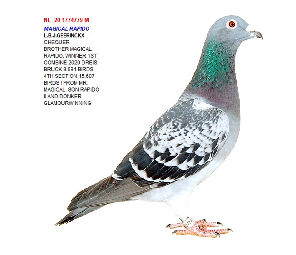 NL 20 1774779 M - Brother Rapido, 1 prize Dreisbruck 9691 pigeons
