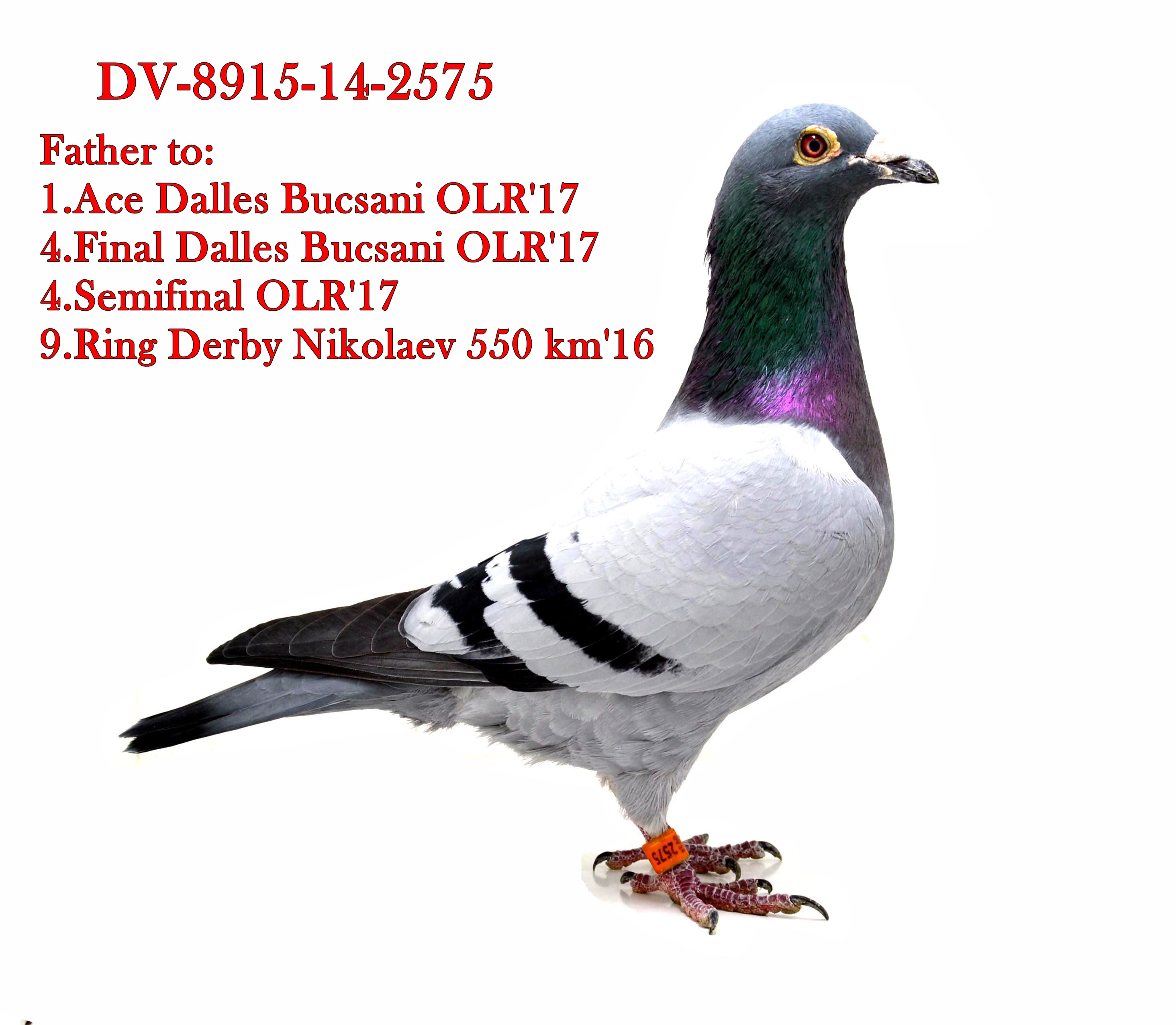 RO 17 9702 F - Full sister 1 ace pigeon Dalles Bucsani OLR