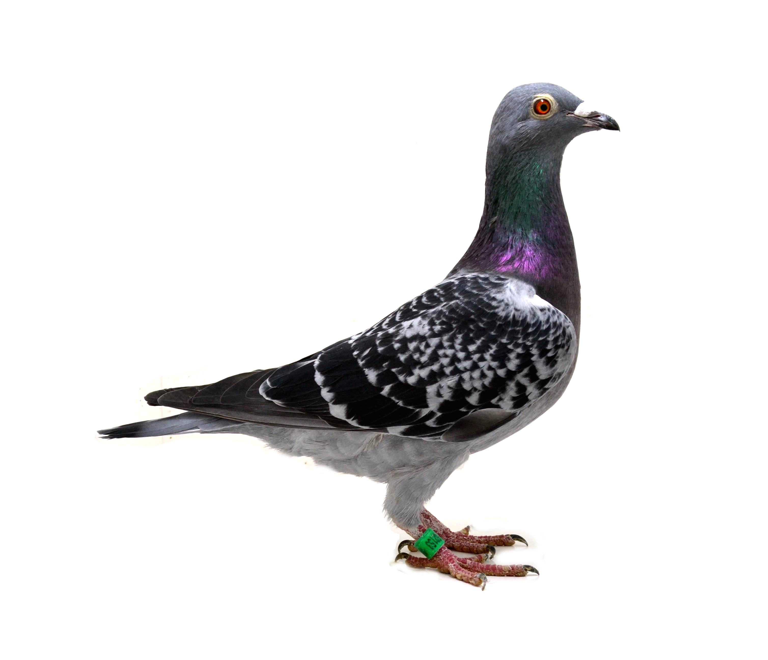 RO 18 552153 F - Full sister 1 Ace pigeon Long Distance club