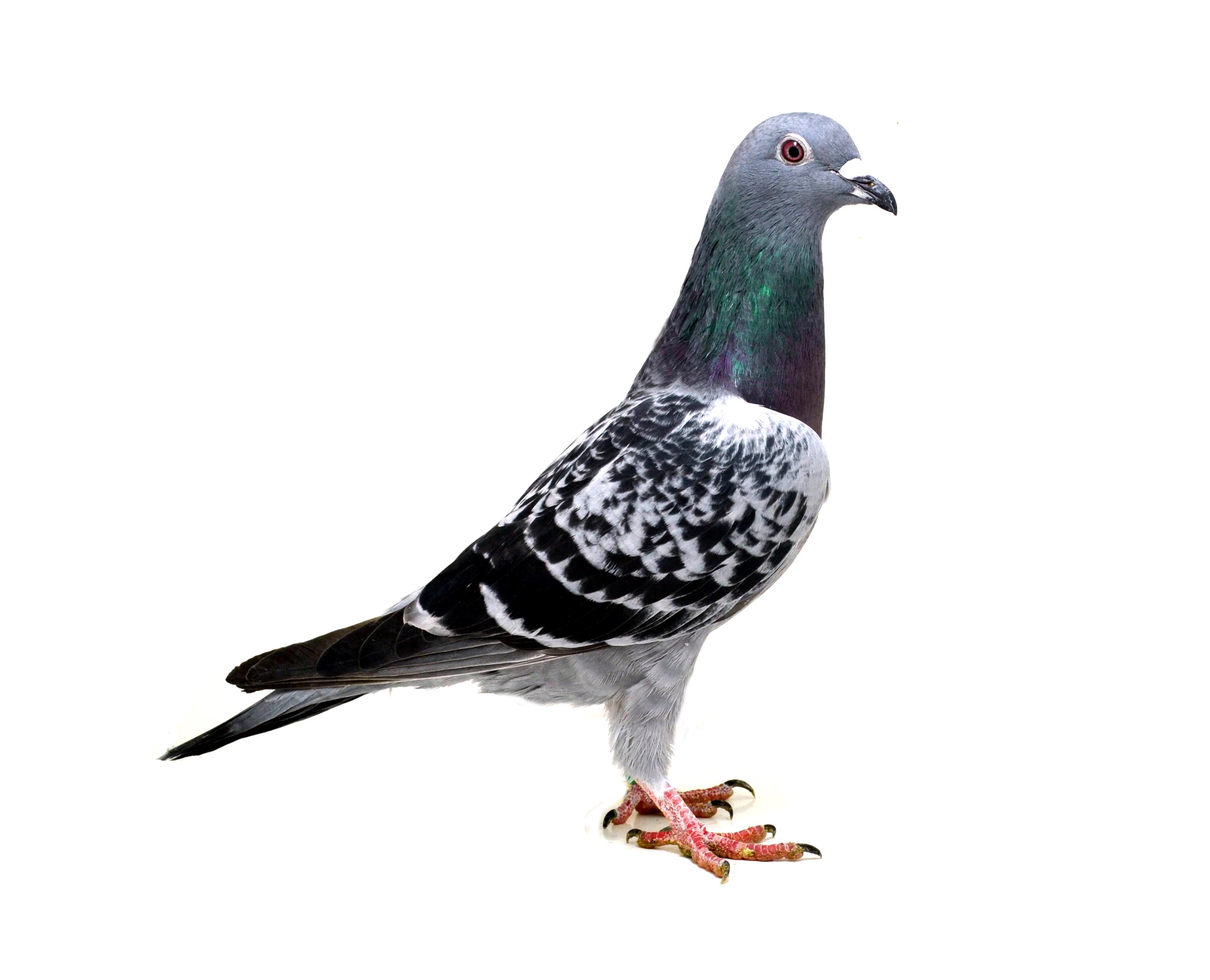 RO 18 552155 F - Half sister 1 Ace pigeon Extrem, 3 Final Extrem etc