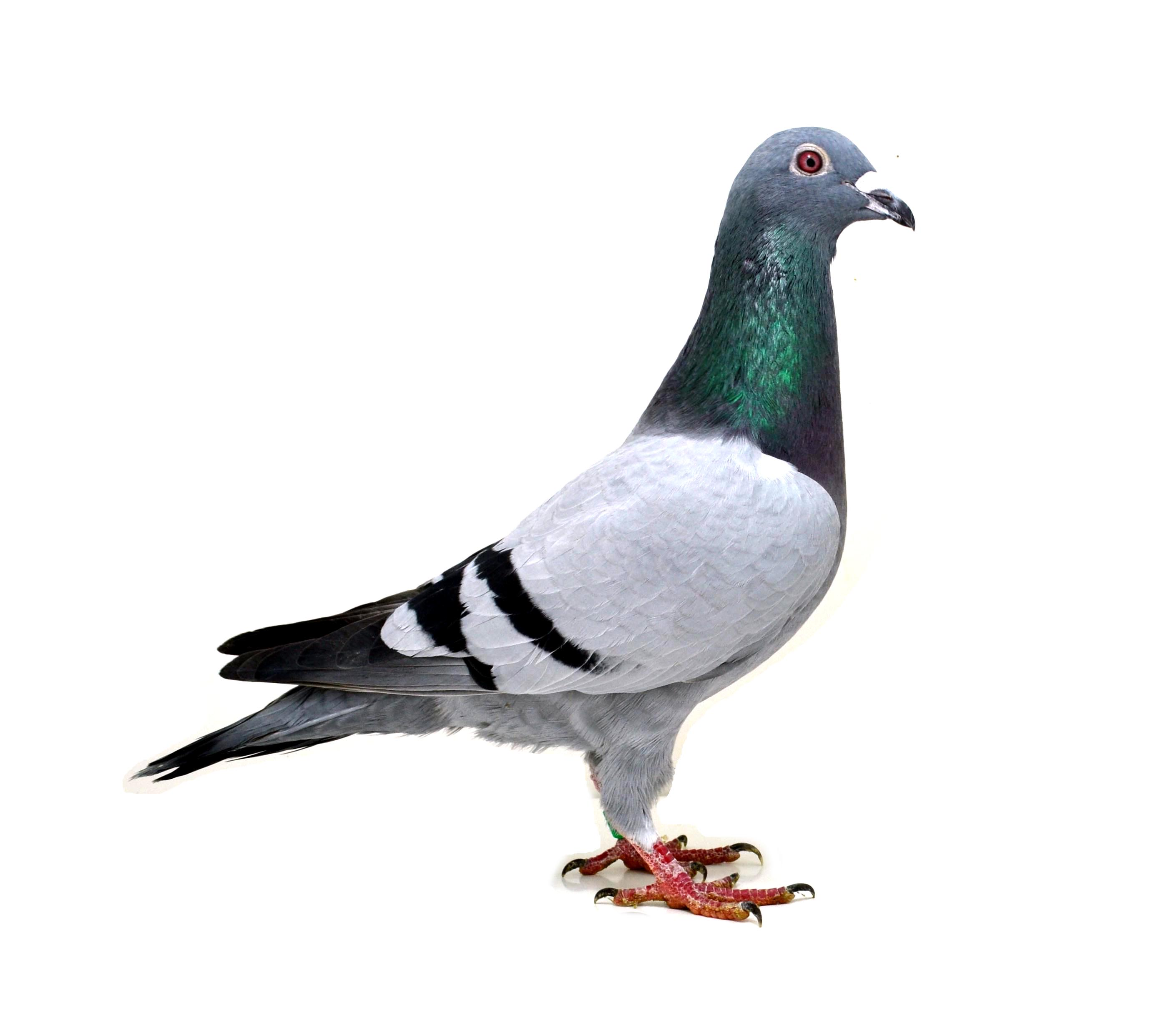 RO 18 552156 M - Half brother 1 Ace pigeon Extrem, 3 Final Extrem etc