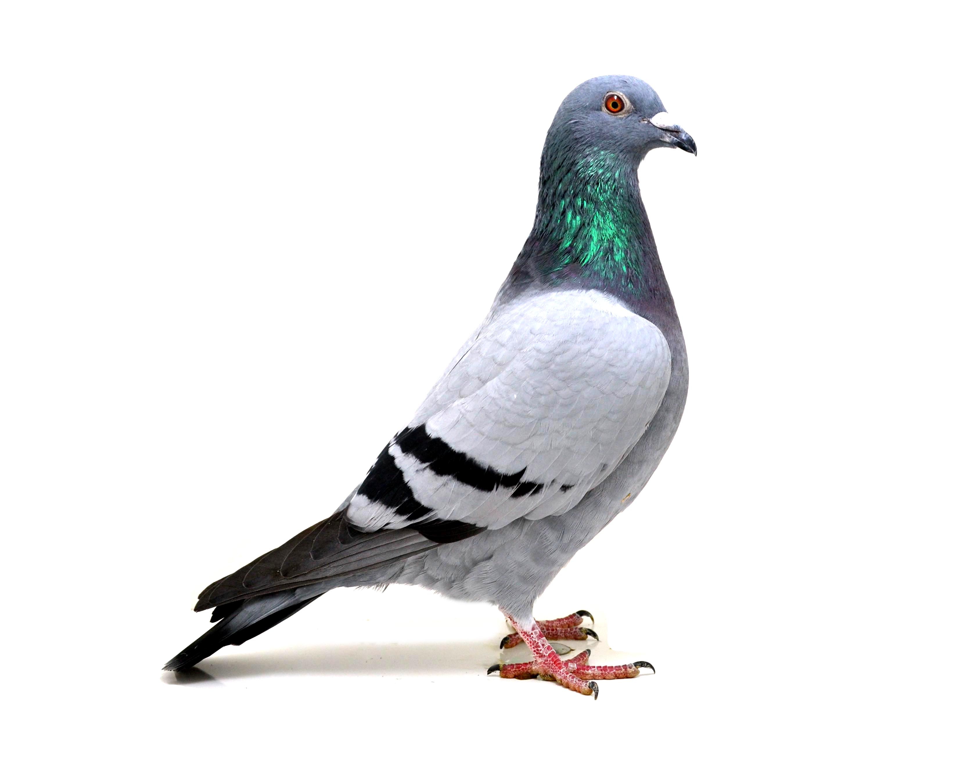 RO 18-552187 M - Son 1 Ace pigeon (time) North Sea Race Sylt Island