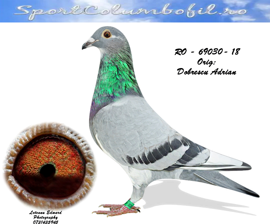RO 18 69030 F - Full sister 036/18: 2, 4, 26, 51, 81 average +5000 pigeons