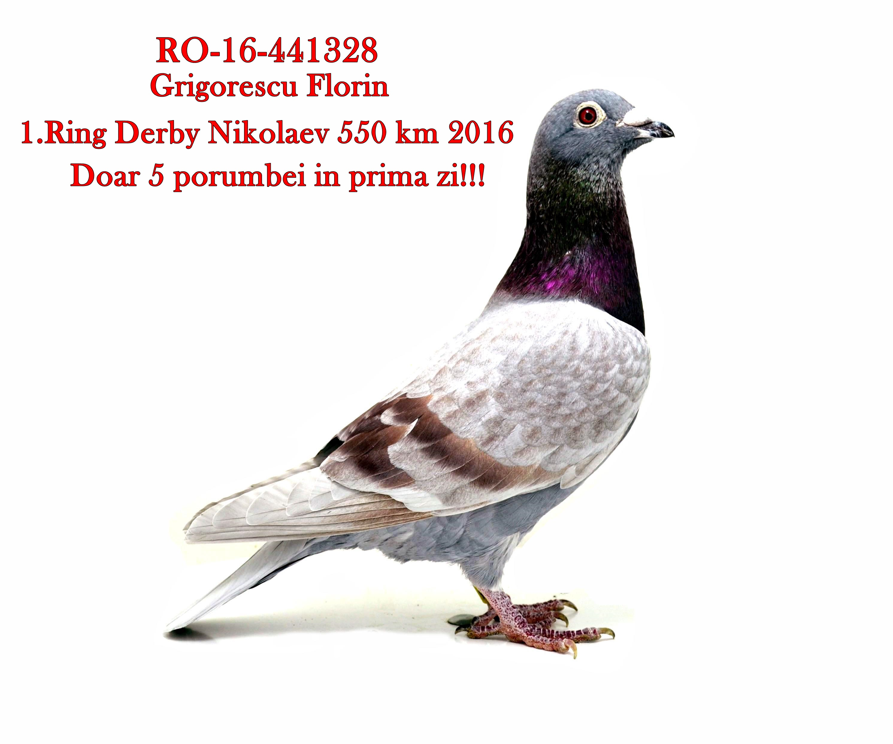 RO 18 9716 M - Son 1 prize Golden Ring Derby Nikolaev (550km)